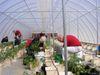 Tomato_plants_5